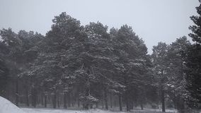 Beautiful snowy pine winter snow storm in pine forest spruce branches in snow shakes the strong wind winter snowy stock footage