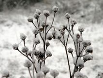 Beautiful snowy plant in winter, Lithuania Stock Photography