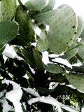 Beautiful snowy succulent plant of prickly pear under the sun Stock Photos