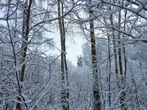 Beautiful snowy  trees branches, Lithuania Stock Photo