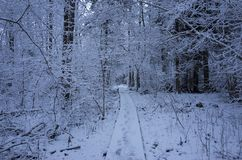 Beautiful snowy trees and forest in Sweden Scandinavia at dusk evening Stock Image