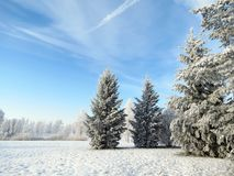 Beautiful snowy trees in winter, Lithuania stock photography