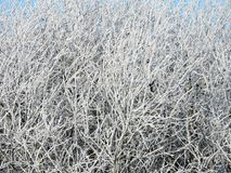 Beautiful snowy trees in winter, Lithuania Royalty Free Stock Photo