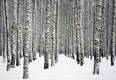 Beautiful snowy trunks of birch trees in winter forest Royalty Free Stock Photography