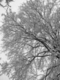 Beautiful snowy white covered tree branches stock photography