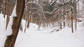 Beautiful snowy winter forest. general plan. The camera is in motion. stock video footage