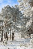 Beautiful snowy winter landscape. Beautiful winter landscape of snow-covered nature, trees in frost Royalty Free Stock Photos