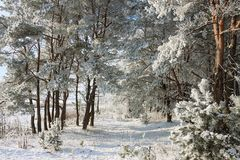 Beautiful snowy winter landscape. Beautiful winter landscape of snow-covered nature, trees in frost Stock Photography