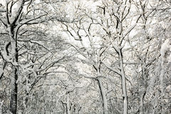 Beautiful snowy winter trees, natural scene Royalty Free Stock Photo