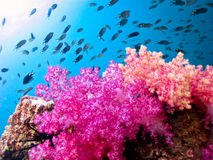 Beautiful soft coral royalty free stock images
