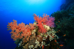 Beautiful Soft Corals Royalty Free Stock Image