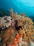 Beautiful soft corals abound in Raja Ampat, Indonesia Stock Photo
