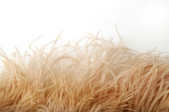 Beautiful Soft Cream Ostrich Feathers on a white background Stock Photos