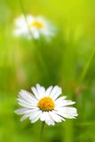 Beautiful, soft daisies Royalty Free Stock Photography