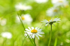 Beautiful, soft daisies Stock Photo