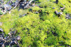 Beautiful, soft, green moss. Grows in the forest, in the sun Royalty Free Stock Image