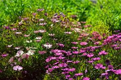 Beautiful soft nature scene with lots of violet flowers. Close-up of a set of lila, pink and white blossoms at the park in a sunny day. Some blurred plants in Stock Photo