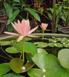 A beautiful soft pastel pink peach lotus flower blooming over the water in lotus pot royalty free stock photography