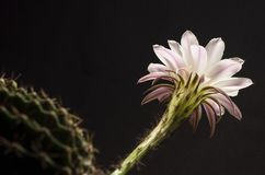 Beautiful soft pink cactus flower royalty free stock image