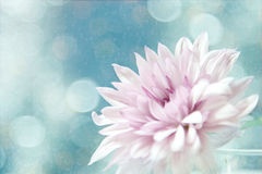 A beautiful soft pink flower. A soft pink flower with an abstract background in blue bubbles with beautiful bokeh Stock Photos