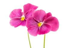 Beautiful soft pink flower heartsease. Heartsease beautiful soft pink flower on white background Royalty Free Stock Photos