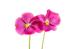 Beautiful soft pink flower heartsease. On white background Royalty Free Stock Images
