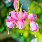 Beautiful soft pink fuchsia flower on the nature green backgroud Royalty Free Stock Photography