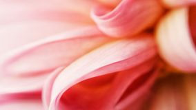 Beautiful soft pink and light red flower petal macro background. In summer sunshine royalty free stock images