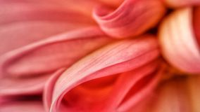 Beautiful soft pink and light red flower petal macro background. In summer sunshine stock image