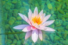 Beautiful soft pink lotus with yellow pollen in swamp pond. Pink water lily flower with copy space for text. Background of the pin. K lotus flowers and yellow royalty free stock photos