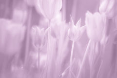 Beautiful soft pink pastel blurred tulips flower Royalty Free Stock Images