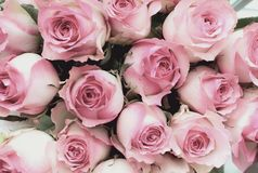 Beautiful Soft Pink Rose Background. Beautiful retro soft pink rose flower background. Image shot from top view royalty free stock photo