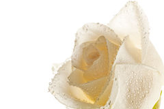 Beautiful Soft Rose. White roses with dew drops on the skylight on a white background stock photos