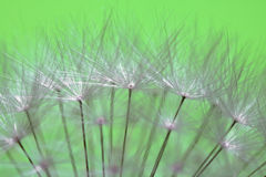 Beautiful soft texture dandelion white flower pistils highlighted pattern with copy space Royalty Free Stock Images