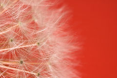 Beautiful soft texture dandelion white flower pistils highlighted pattern with copy space. Spring dandelion white flower pistils highlighted on red background stock photo