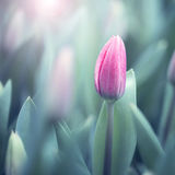 Beautiful soft violet color blurred tulips background Royalty Free Stock Photo