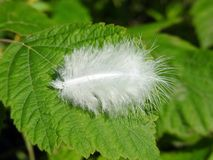 White bird feather on green leaf, Lithuania Royalty Free Stock Photography