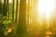 Beautiful solar beams in a quiet wood Royalty Free Stock Photo