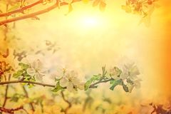 beautiful solitude branch of blossoming apple tree on blurred su royalty free stock image