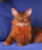 Beautiful somali cat lying of blue sofa. Beautiful somali cat portrait lying of blue sofa stock photo