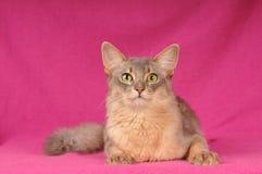 Beautiful somali cat portrait. Beautiful blue somali cat portrait looking at camera royalty free stock photos
