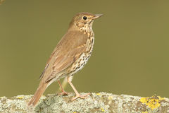 A beautiful Song Thrush Turdus philomelos perched on a lichen covered branch Stock Photography