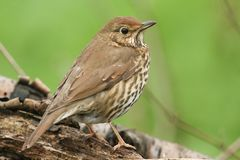 A beautiful Song Thrush Turdus philomelos perching on a log. A stunning Song Thrush Turdus philomelos perching on a log Royalty Free Stock Image