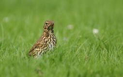 A beautiful Song Thrush Turdus philomelos standing in the long grass with a worm in its beak which it has just captured. A Song Thrush Turdus philomelos Royalty Free Stock Image