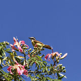 Beautiful songbird on the blossoming silk tree. Stock Photography