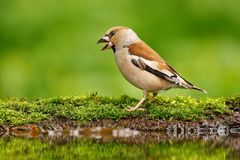 Beautiful songbird, Hawfinch, in water mirror, brown songbird sitting in the water, nice lichen tree branch, bird in the nature royalty free stock photography