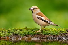 Beautiful songbird, Hawfinch, in water mirror, brown songbird sitting in the water, nice lichen tree branch, bird in the nature ha. Bitat, spring - nesting Stock Photography