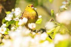 Beautiful songbird sings in spring sunny day. Natural beauty, flowering, wildlife after the winter Royalty Free Stock Photography