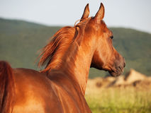 Beautiful sorrel  arabian horse at freedom Royalty Free Stock Photo