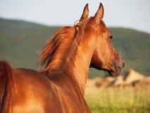 Beautiful sorrel arabian horse at freedom. Outdoor royalty free stock photo